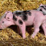genetically modified pigs